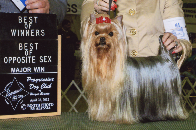 Yorkshire Terrier Breeder of Champion Yorkshire Terriers as