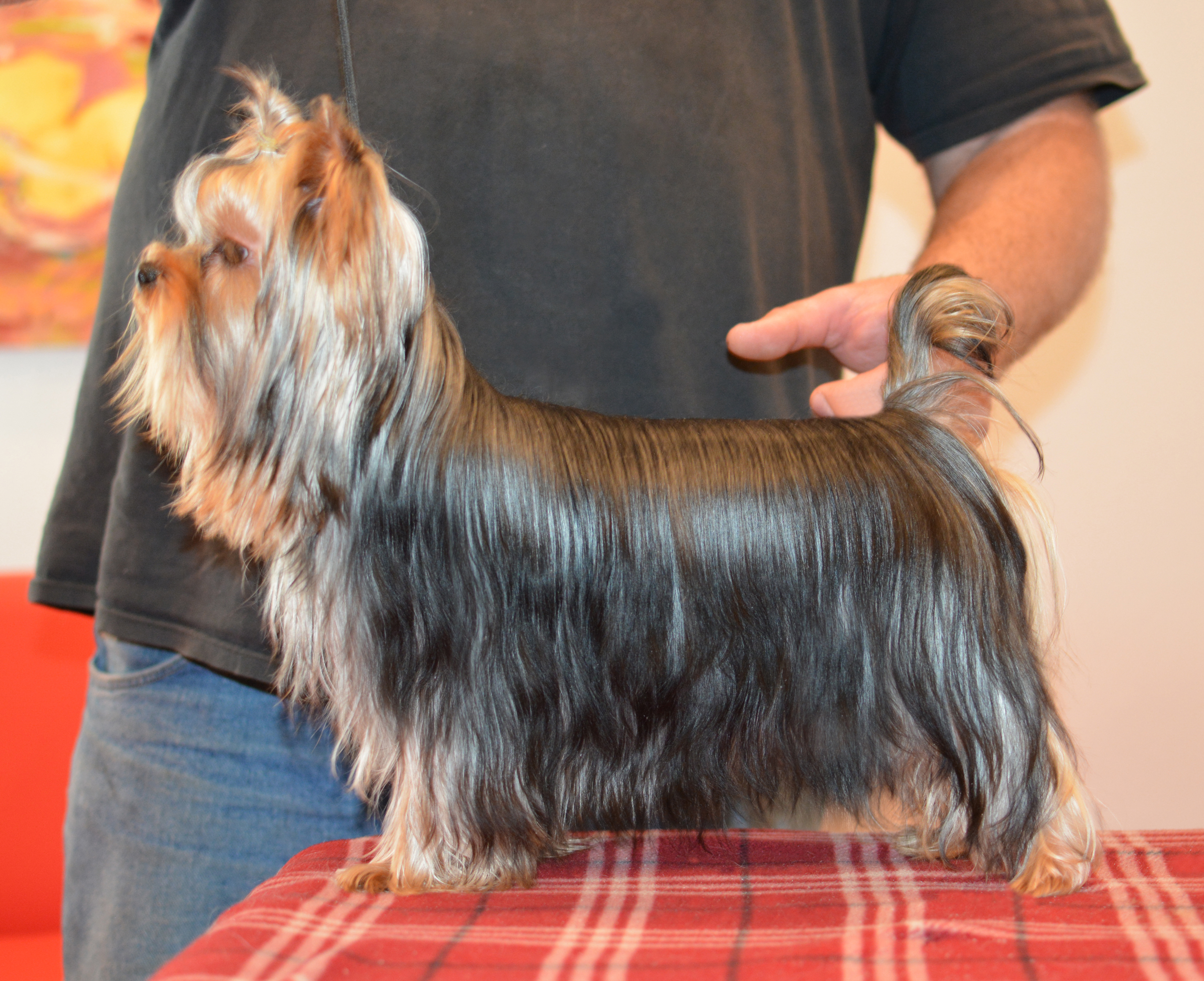 Yorkshire Terrier Breeder Of Champion Yorkies Showing A Yorkshire