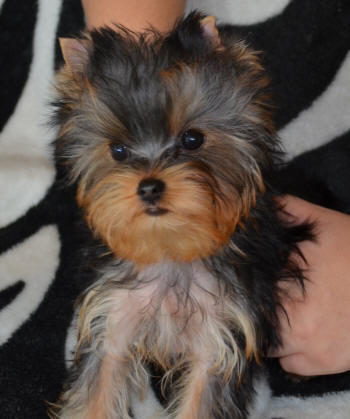 Yorkshire Terrier Puppy Articles On Health And Training