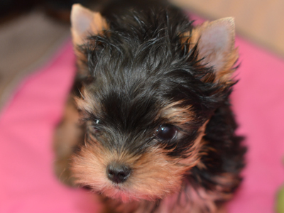 yorkie puppies for sale from exception yorkie breeder