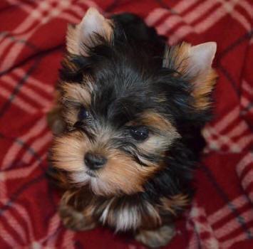male yorkie puppy resting