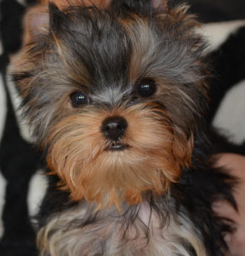 male yorkie puppie looking for a new home