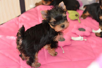 image of yorkie puppies for sale in playpen