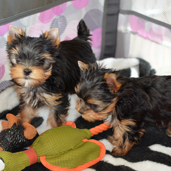 image of two yorkie puppies playing available for sale
