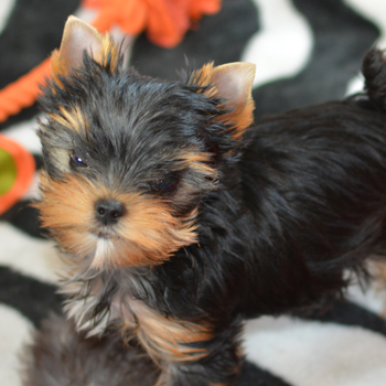 yorkie puppies-two of them