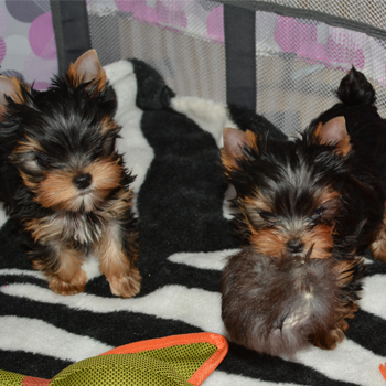 image of two yorkie girls for sale