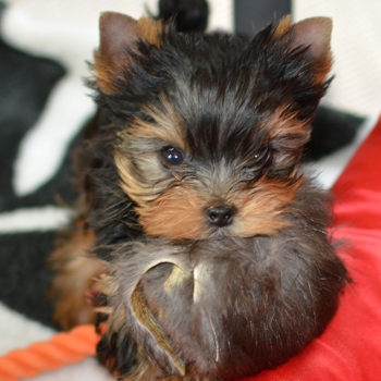 picture of 2 yorkie puppy girls for sale