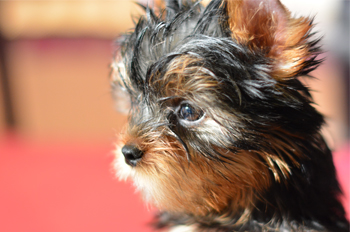 picture of male yorkie puppy for sale