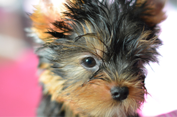 male yorkie puppy for sale adorable face