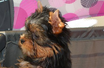 image of male yorkie puppy for sale in stacked pose