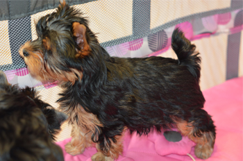 yorkie puppies for sale-small male