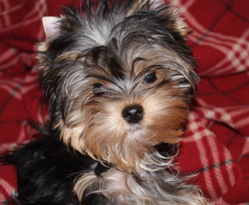 yorkie puppy for sale posing