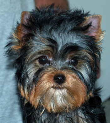 Yorkie Puppy Care Instructions