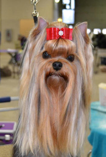 How to trim yorkshire terrier hair